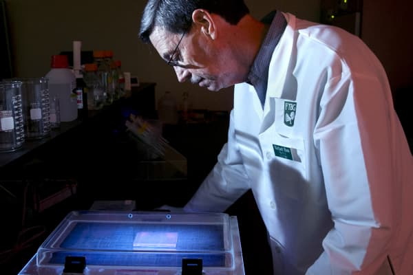A biochemist examines the DNA of a species of mango.