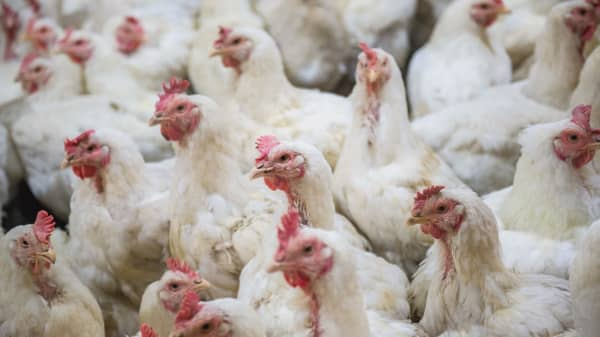 America's chicken industry is a monopoly run by the likes of Tyson and Perdue. Costco is opening a $440 million chicken farm to (partly) escape it