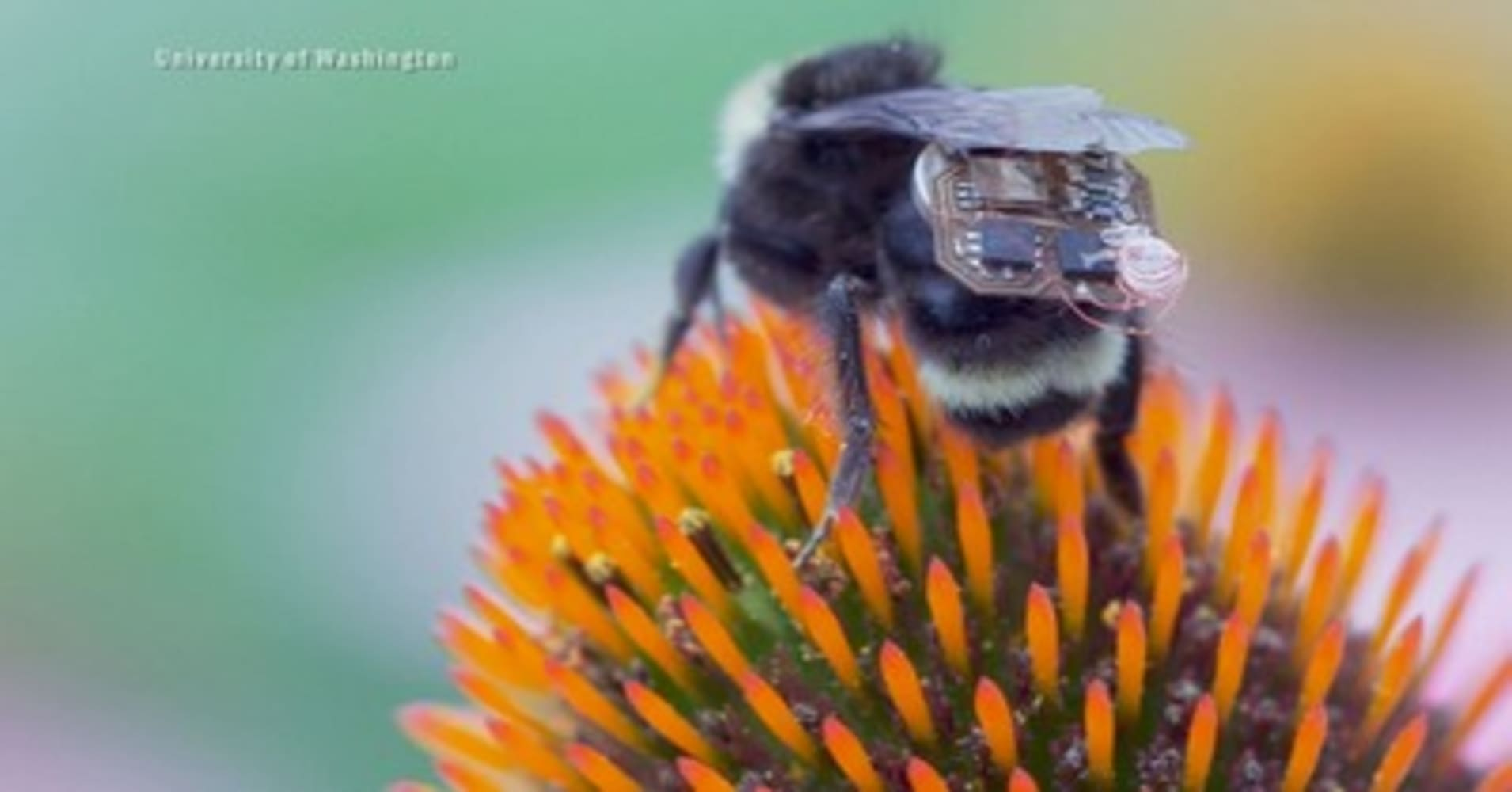 Researchers turning bumblebees into live drones, calling it