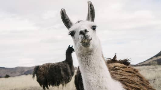 Portrait of llama on field against sky