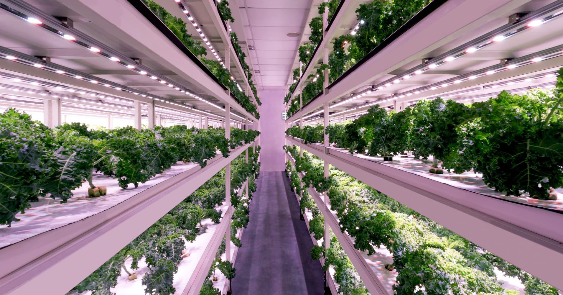 Kale growing in Sustenir's Singapore-based vertical farm facility.