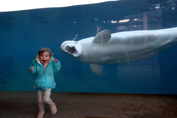 MYSTIC, CONNECTICUT- NOVEMBER 28:  A young girls reacts as she is greeted by a beluga whale at the viewing window at Mystic Aquarium in Mystic, Conn.
