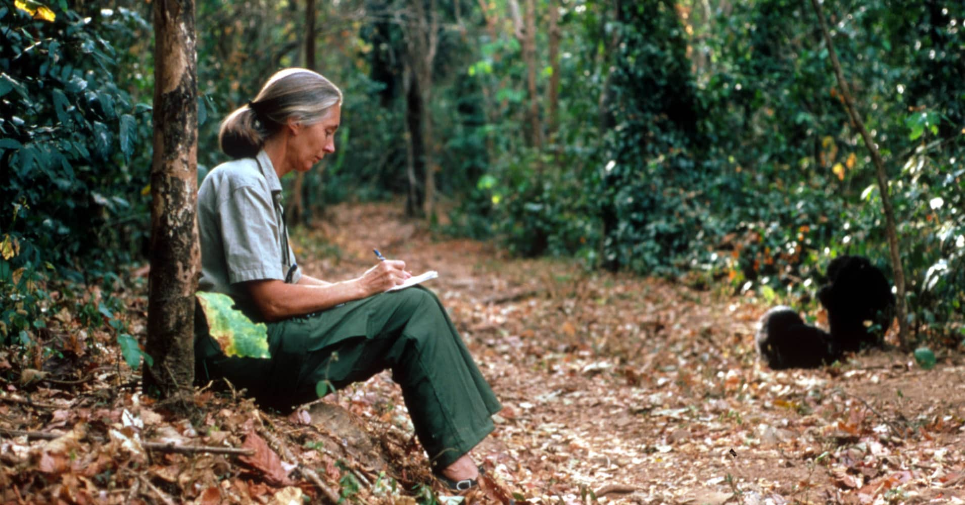 Jane Goodall studies the behavior of a chimpanzee during her research February 15, 1987 in Tanzania.