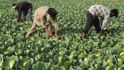 Indian farmers harvest cabbage in a field on the outskirts of Amritsar on December 27, 2018.