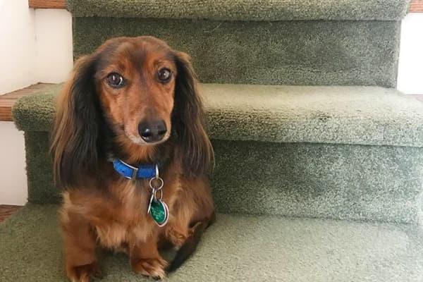 Bennett, Elizabeth Bracher's dachshund, poses for a photo.
