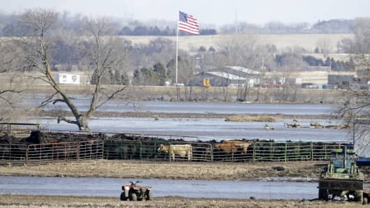 Nebraska cows ready for calving stand in a pen on land isolated by the swollen waters of the North Fork of the Elkhorn River, in Norfolk, Neb., Friday, March 15, 2019.