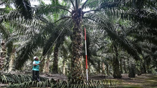 This picture taken on February 13, 2019 shows a worker trimming leaves on a newly created dwarf palm oil tree at the Malaysian Palm Oil Board (MPOB) research station in Bukit Lawiang in southern Johor state.