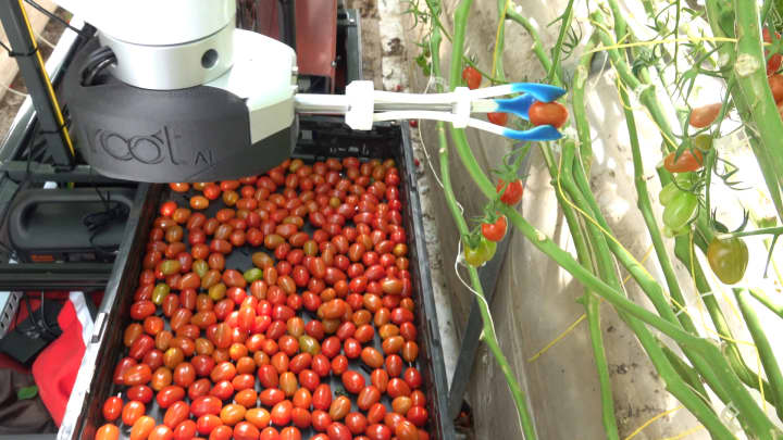 This tomato-picking robot is more efficient than humans and can work 24/7